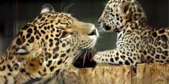Nuevas esperanzas para el jaguar