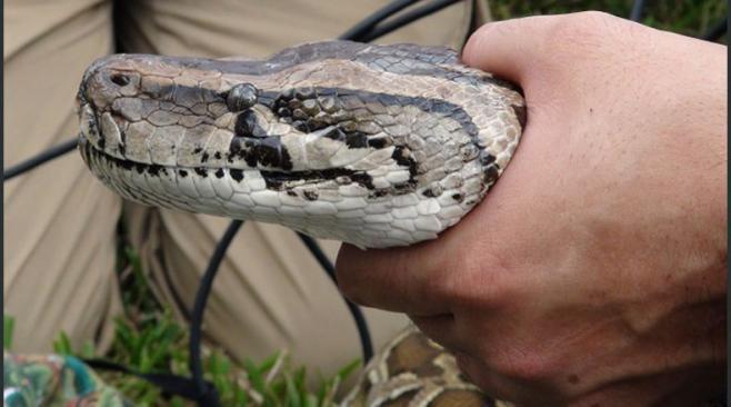 Udelar estudiará serpiente protegida encontrada en Carrasco