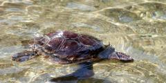 Población de tortugas marinas puede bajar por cambio climático,dicen expertos