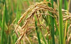 Situación del arroz en Uruguay