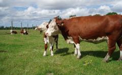 Quintans: en ganadería es clave el manejo de la recría, tasa de destete y peso del ternero