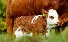 Relevamiento: la cría tiene un costo de 76 centavos de dólar y una ganancia de 77 centavos, según el IPA