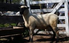 Compatibilidad: Hamshpire y Texel con más producción de carne por hectárea