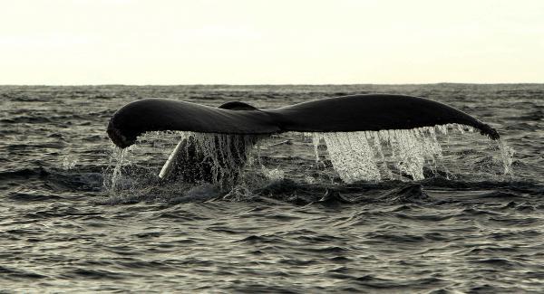 Japón reanuda su caza de ballenas pese a la oposición de órgano internacional