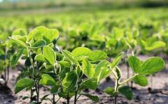 Zona núcleo: La soja de primera lleva implantada el 40% del área
