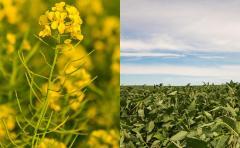 Buenos rendimientos para invierno, mientras que se siembra soja y maíz de acuerdo con lo planificado