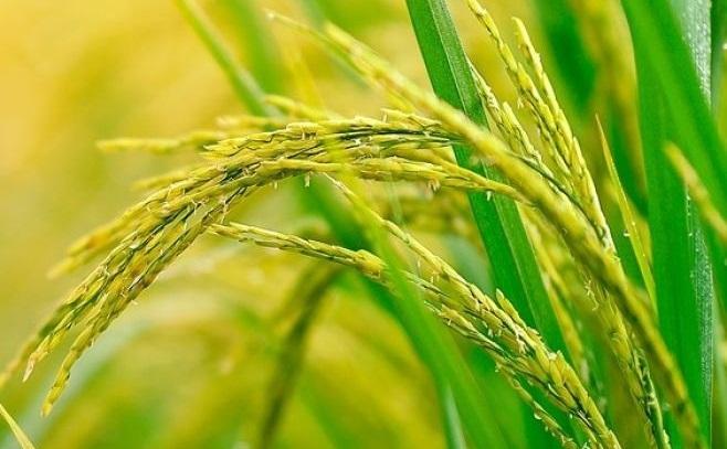 Se exporta arroz a 60 países, pero el 90% del volumen se concentra en cinco destinos