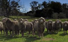 En la línea de la rentabilidad, CRILU presentará resultados de la producción de lanas ultrafinas