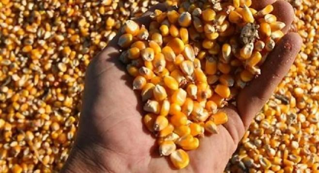 Científicos identifican los orígenes de la domesticación del maíz
