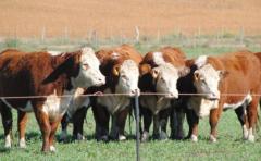 Las lluvias han incidido favorablemente en la ganadería, incluso en el mercado