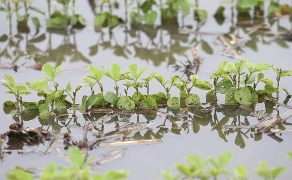 Soja: dado las lluvias se debería resembrar entre un 10 y 15% del área
