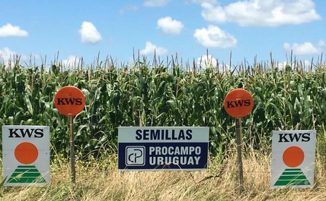 El maíz tiene buenas perspectivas de rendimiento, muy por encima de la zafra pasada, que se vio afectado por la sequía