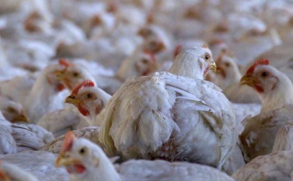 Murieron 80 mil pollos por las altas temperaturas