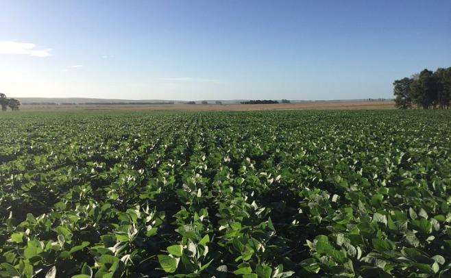 En el este del país, las abundantes lluvias incidieron negativamente en las sojas de primera